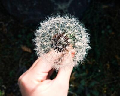 Hand holds a dandelion head